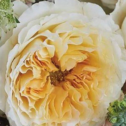 Garden Rose Beatrice Golden Peach - Bulk