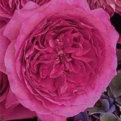 Garden Rose Capability Hot Pink - Bulk