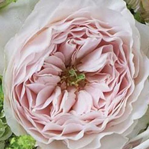 Garden Rose Charity Light Pink - Bulk