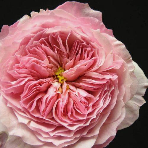 Garden Rose Constance Pink - Bulk