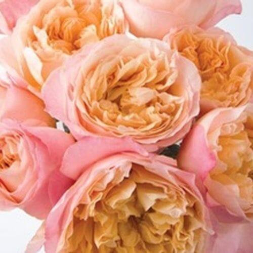 Garden Rose Edith Bi-color - Bulk