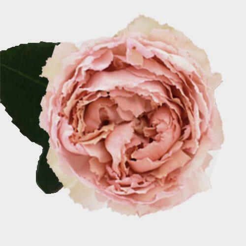 Garden Rose Juliet Peach - Bulk