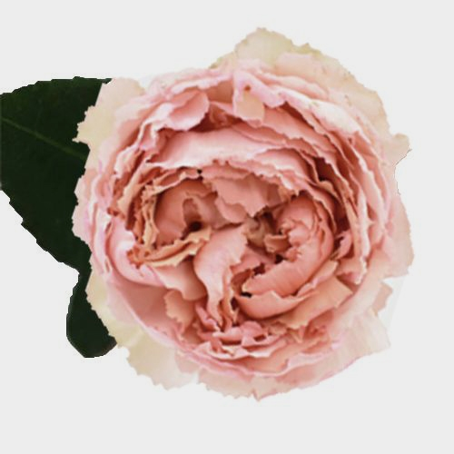 Garden Rose Juliet Peach - Bulk