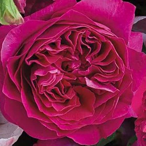 Garden Rose Kate Hot Pink - Bulk