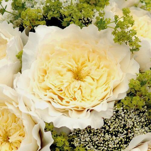 Garden Rose Patience White - Bulk