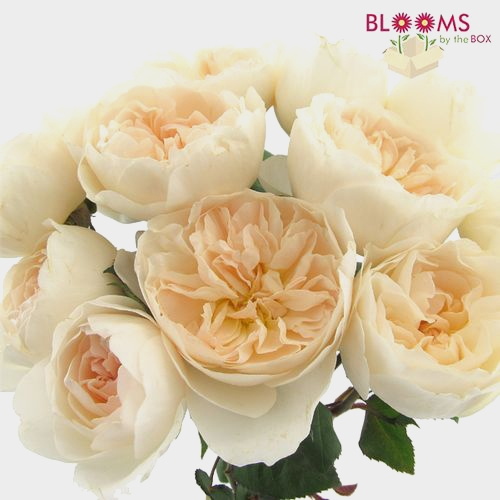 Garden Rose Purity Light Peach - Bulk