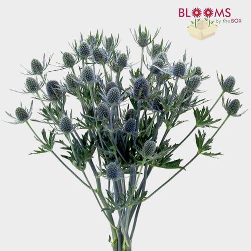 Thistle Eryngium Bulk