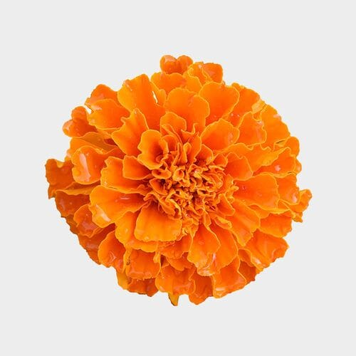 Orange Marigold Flowers - Bulk