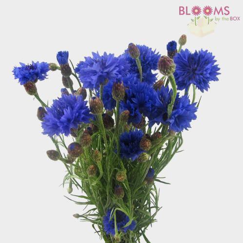 Cornflower Assorted - Bulk