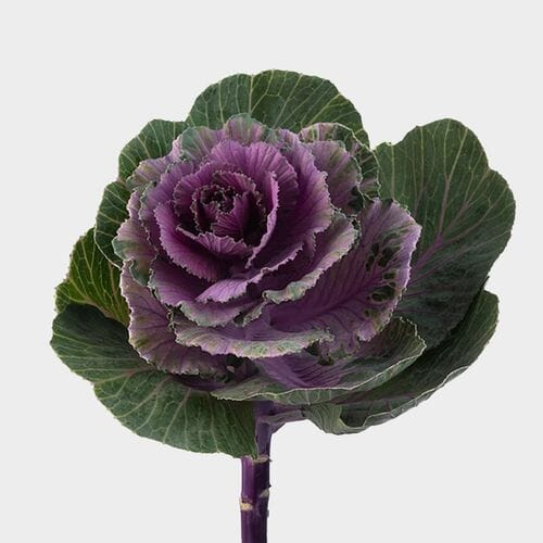 Cabbage Kale Purple Bulk