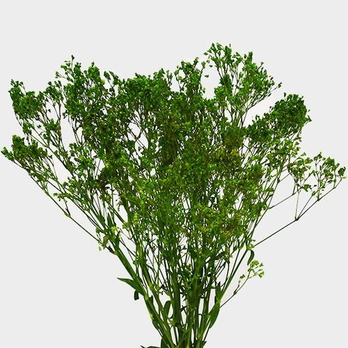 Gypsophila - Tinted Green Bulk
