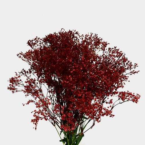 Gypsophila - Tinted Red Bulk