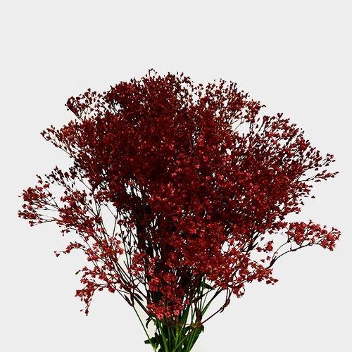 Gypsophila - Tinted Red Bulk