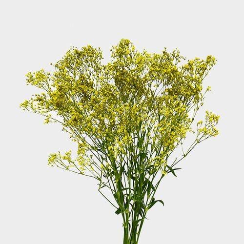 Gypsophila - Tinted Yellow Bulk