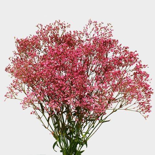 Gypsophila - Tinted Pink Bulk