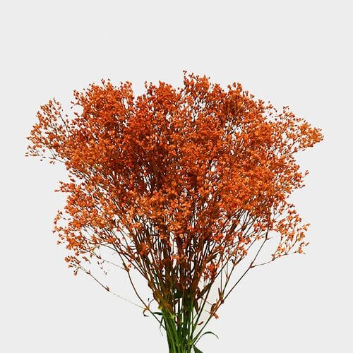 Gypsophila - Tinted Orange Bulk