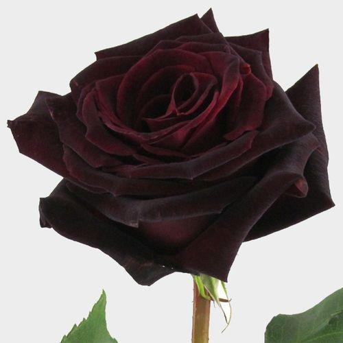 Baccara Black Rose 60 Cm.