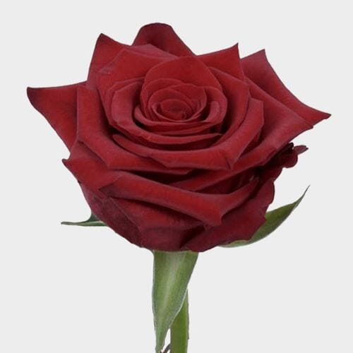 Paris Dark Red Rose 60 Cm.