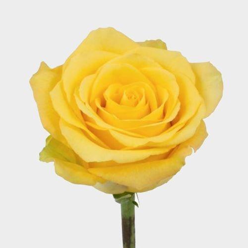 Rose Bikini Yellow 50cm