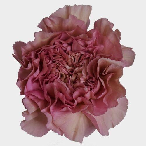 Dusty Pink Fancy Carnation Flower